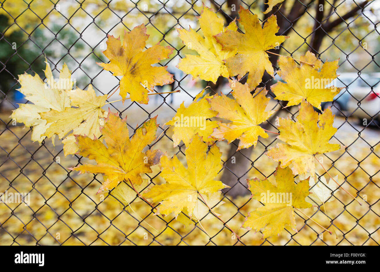 A fallen autumn leaves caught on a wire fence Stock Photo, Royalty ...