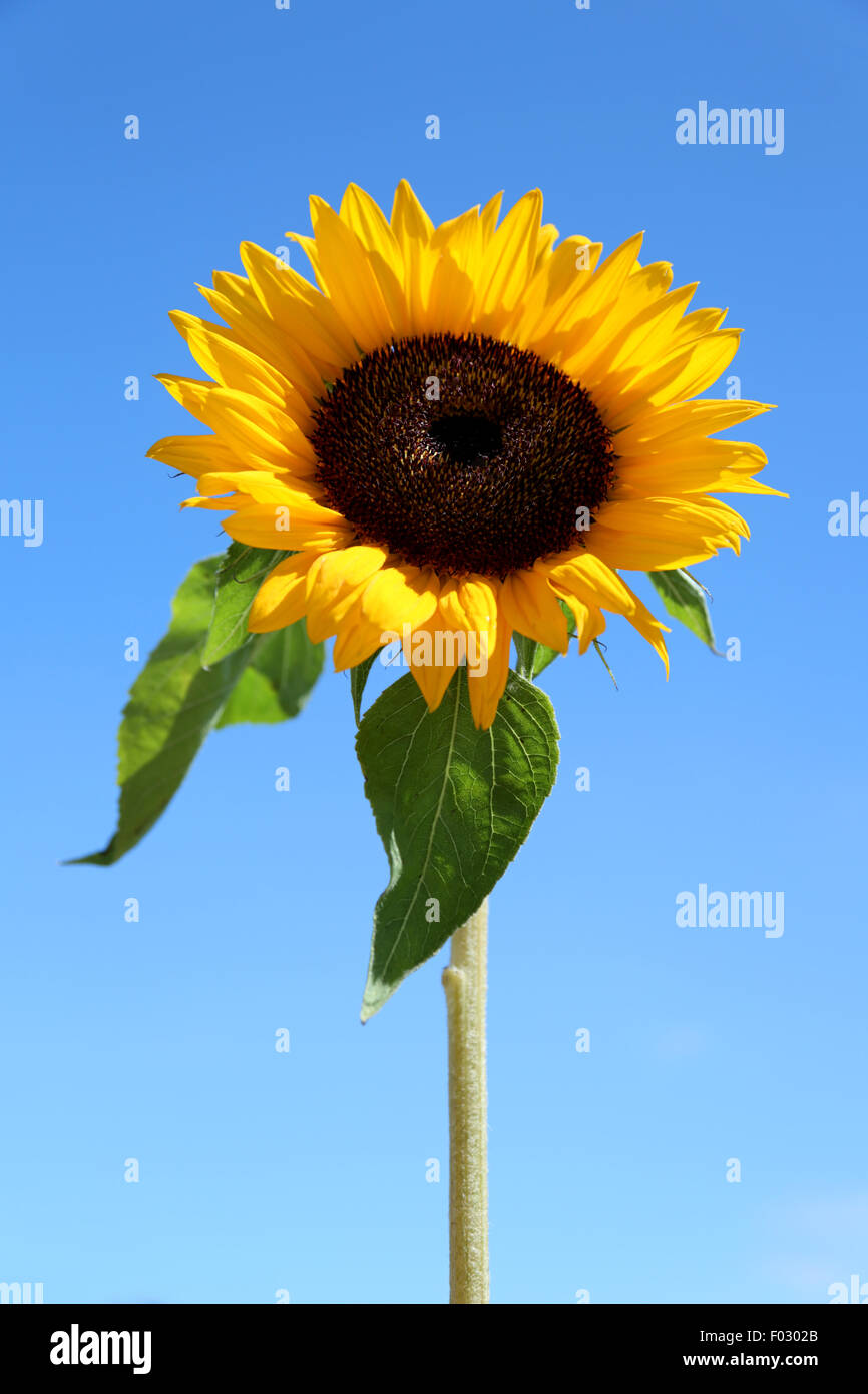 a single sunflower against a bright blue sky stock photo, royalty, Beautiful flower