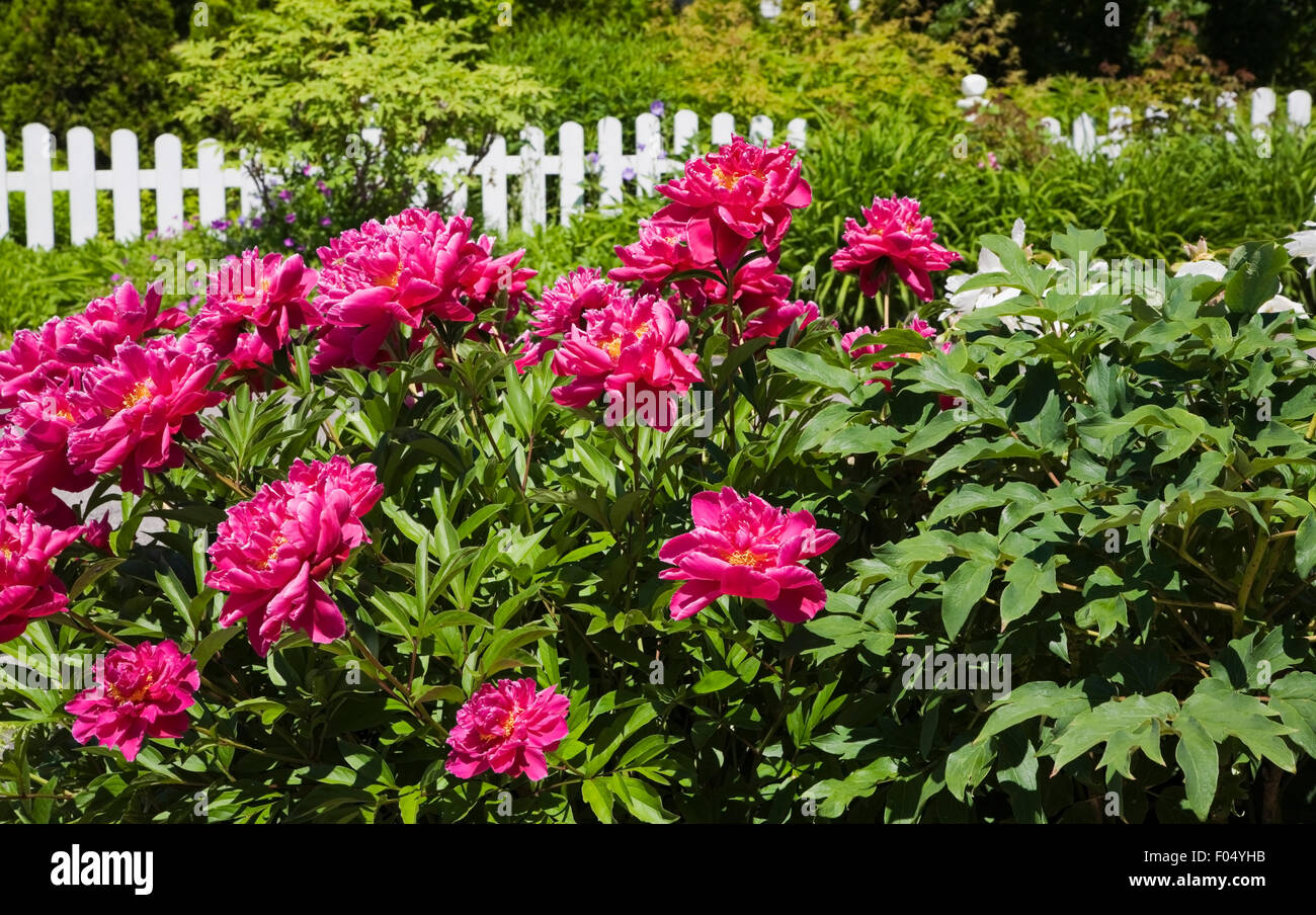 Pink peony flowers paeonia sp and white wooden picket fence in pink peony flowers paeonia sp and white wooden picket fence in front yard country garden quebec canada dhlflorist Images