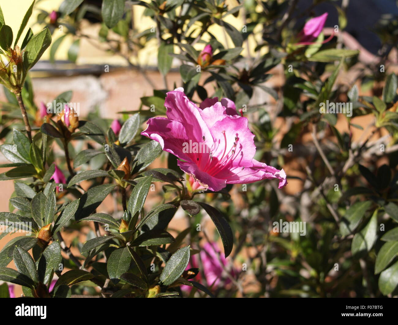 Large pink flower with bush in background stock photo royalty free large pink flower with bush in background mightylinksfo
