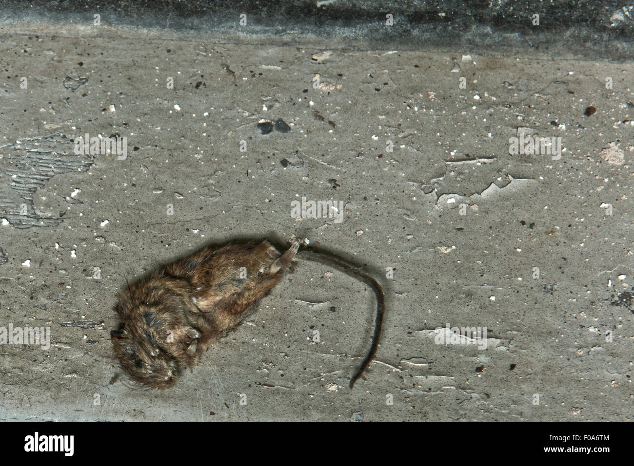 A Dead Mouse In The Closed Main Pool In Moseley Road Swimming Baths Stock Photo Royalty Free