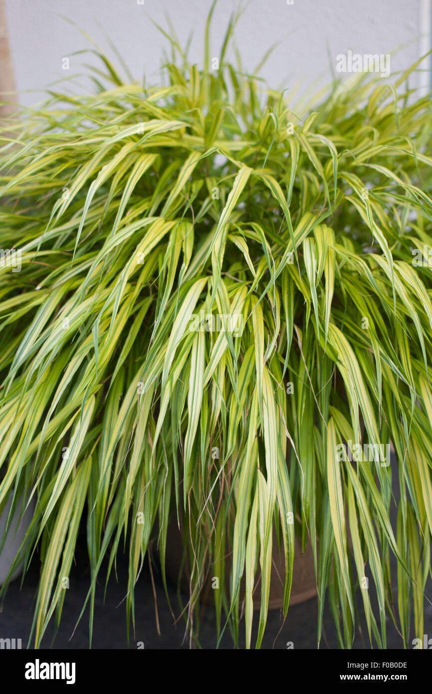 Ornamental grass hakonechloa macra 39 aureola 39 growing in a for Ornamental grass yellow