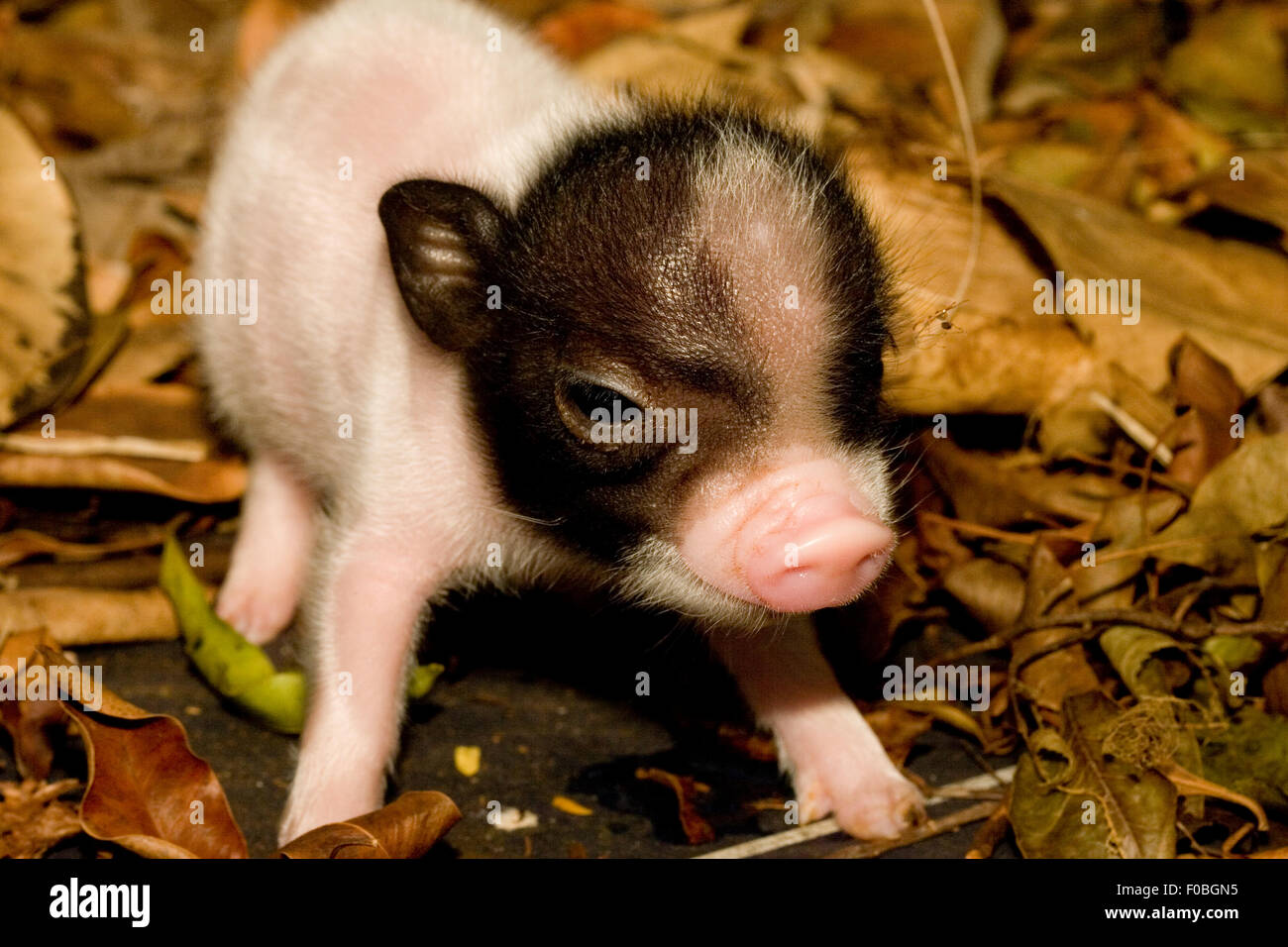 a cute baby pig on a farm stock photo royalty free image