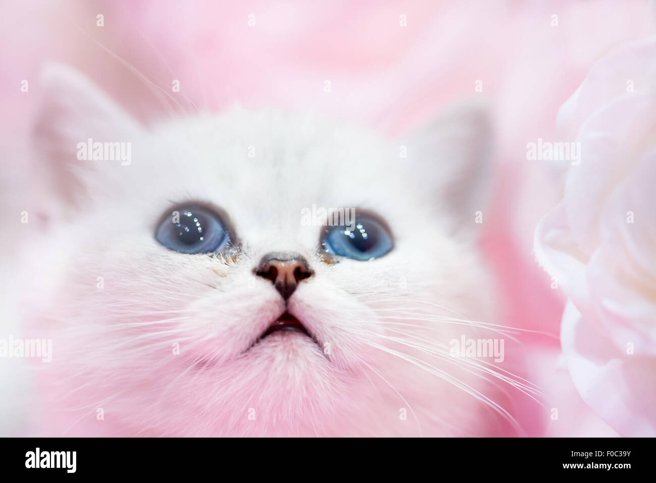 Little cute white cat kitten on the pink background Stock