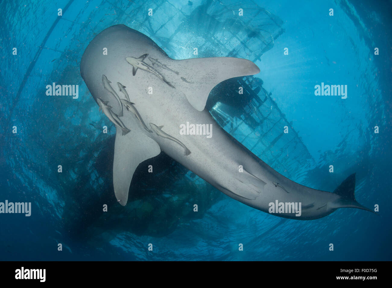 Whale shark seen from below with remoras clinging to its belly, and a Stock Photo, Royalty Free ... - photo#12