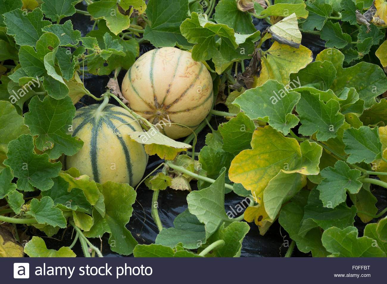 Forum on this topic: How to Ripen a Cantaloupe, how-to-ripen-a-cantaloupe/