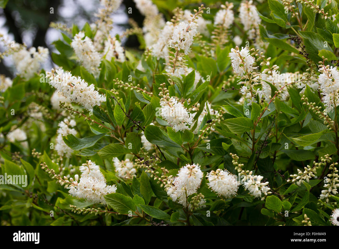 Panicles of scented white flowers of the sweet pepper bush for White flowering bush