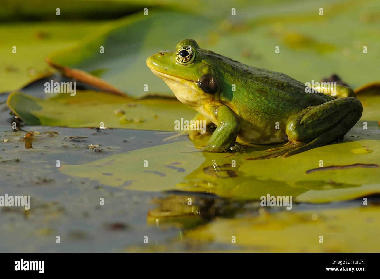 frog sitting lily pad stock photos u0026 frog sitting lily pad stock