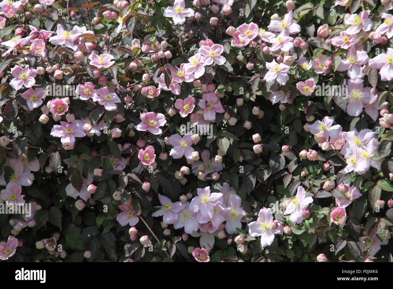 clematis montana var rubens 39 mayleen 39 plant in flower. Black Bedroom Furniture Sets. Home Design Ideas