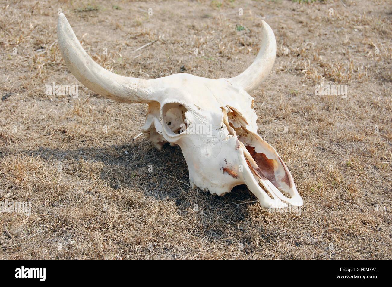 steer skull stock photos u0026 steer skull stock images alamy