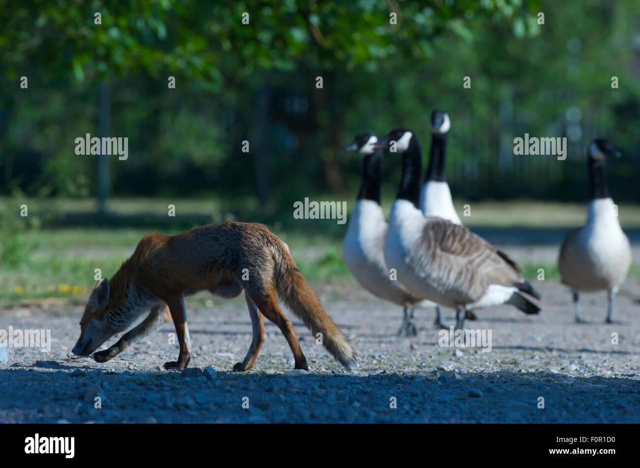 canada goose red fox