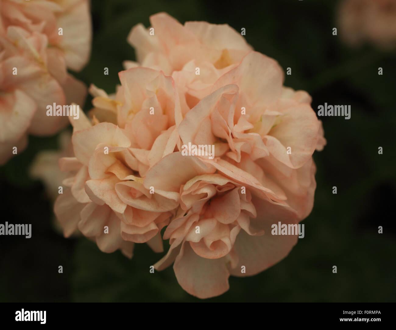 пеларгония sophie emma фото