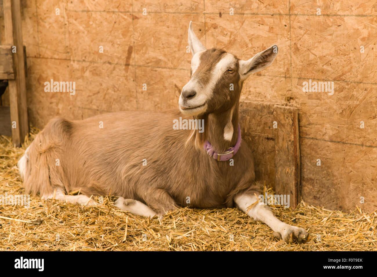 Alpine Dairy Goat Inside The Barn In Carnation Washington USA