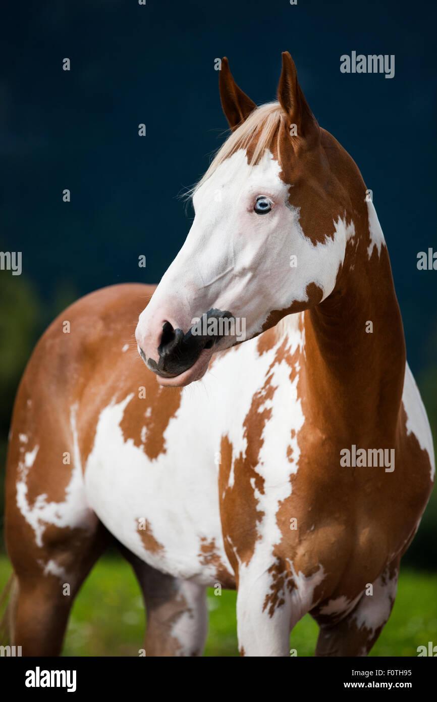 Chestnut tovero horse