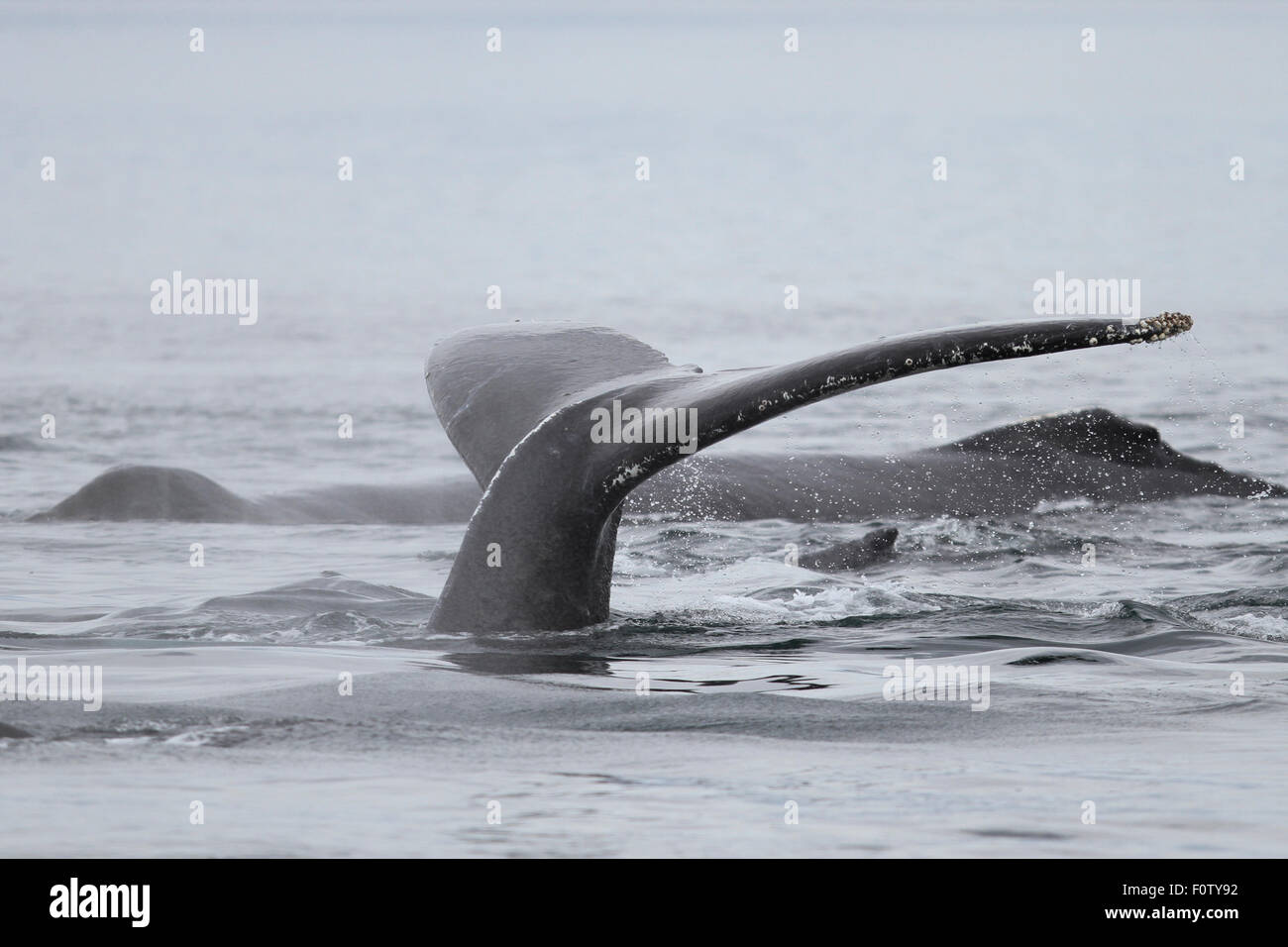 humpback whale tail flukes off the coast of southeast alaska stock