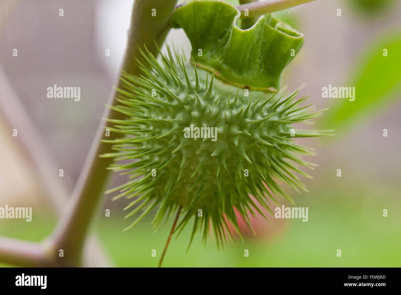 Angel trumpet flower brugmansia suaveolens seed pod for Garden pods to live in
