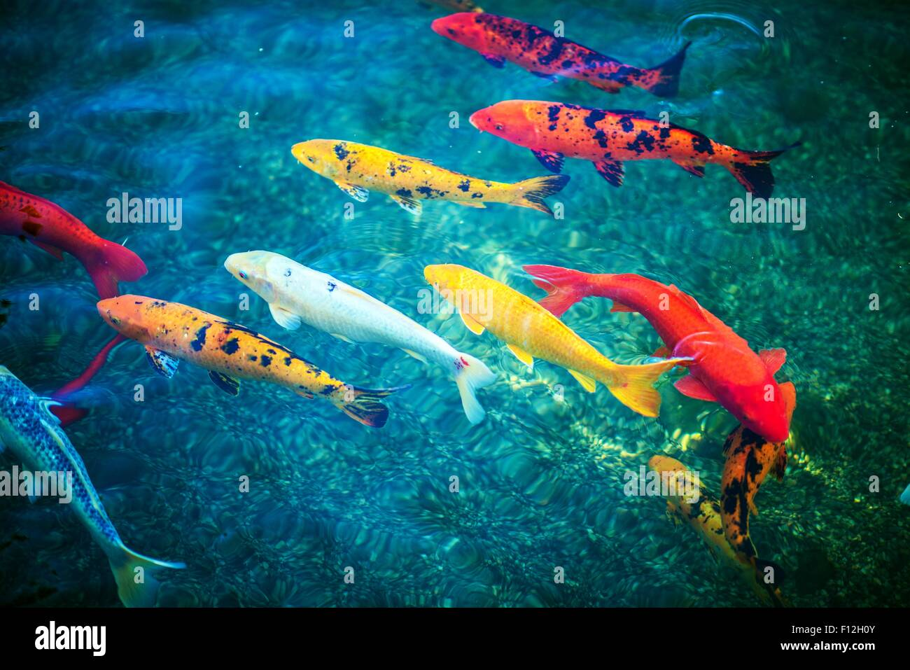 Colorful koi fishes in the pond closeup pond fishes stock for Colorful pond fish