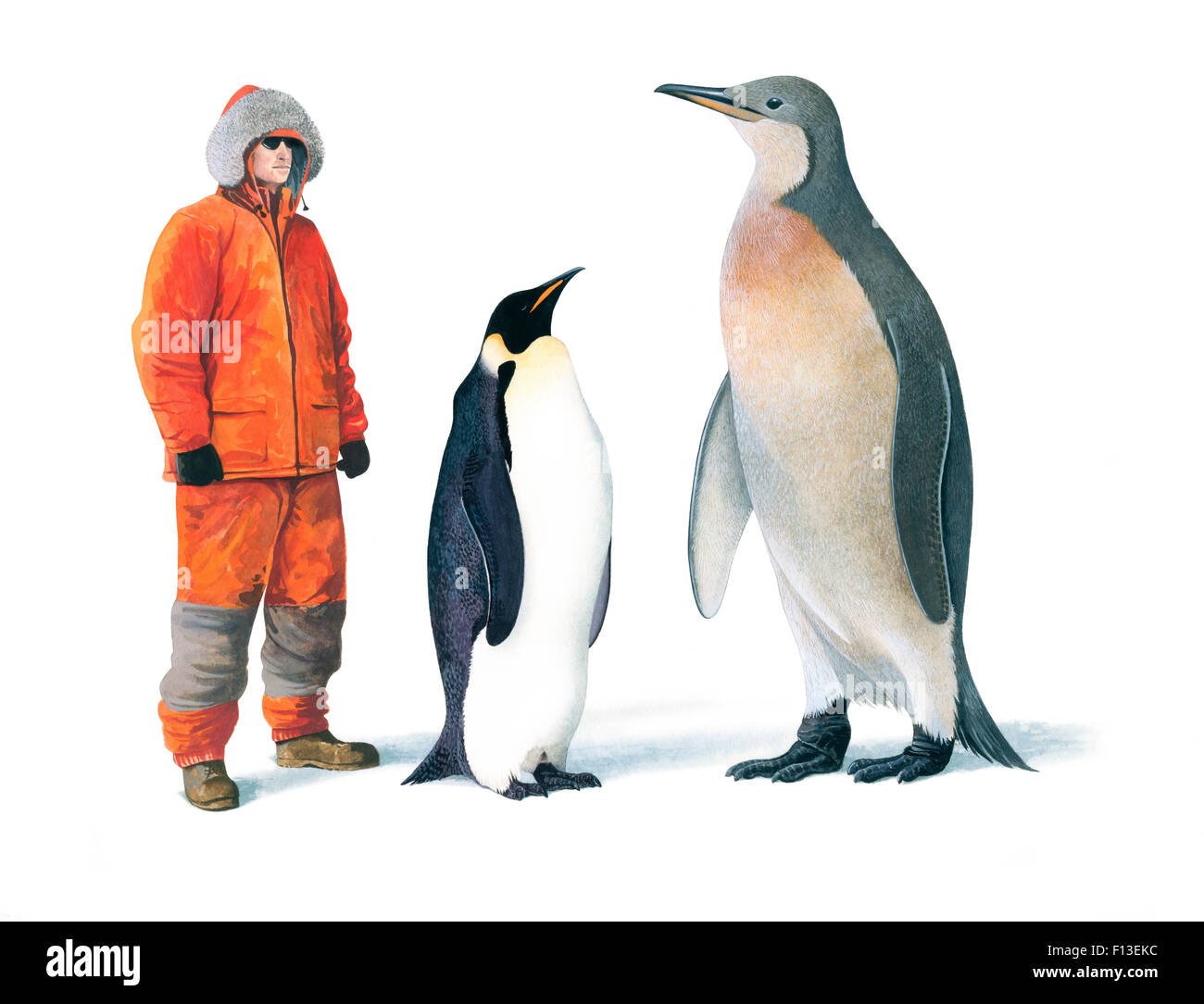 Emperor penguin size comparison - photo#9