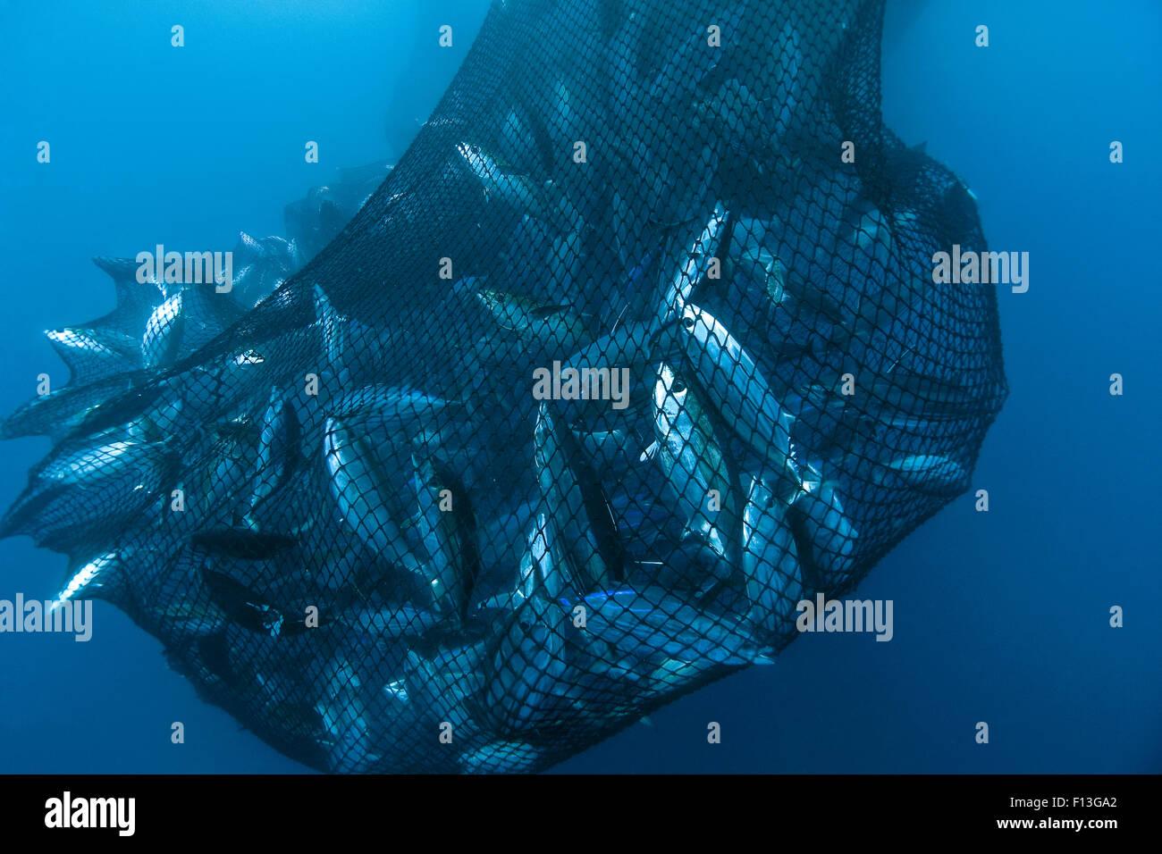 Drag net of a seine fishing vessel full of yellowfin tuna for Drag net fishing