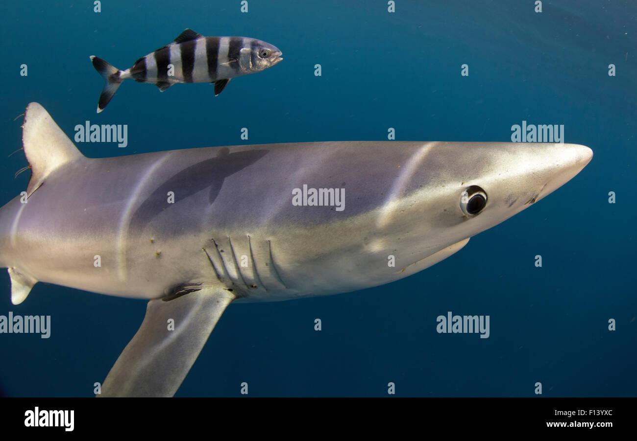 Скачать книгу золотая акула