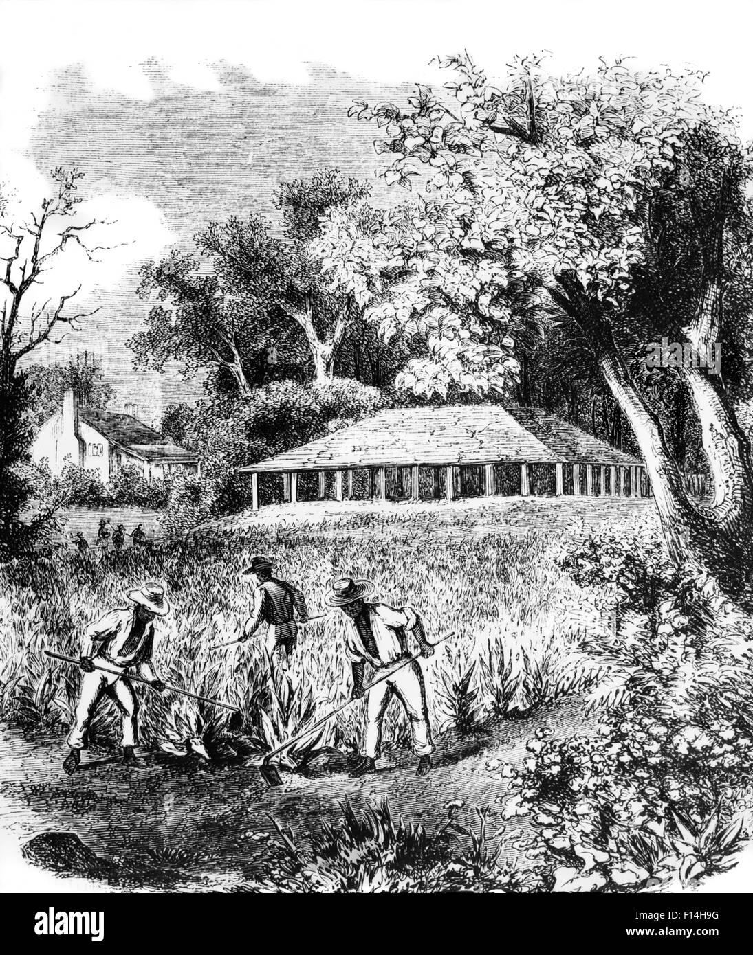 Colonial Tobacco Plant...