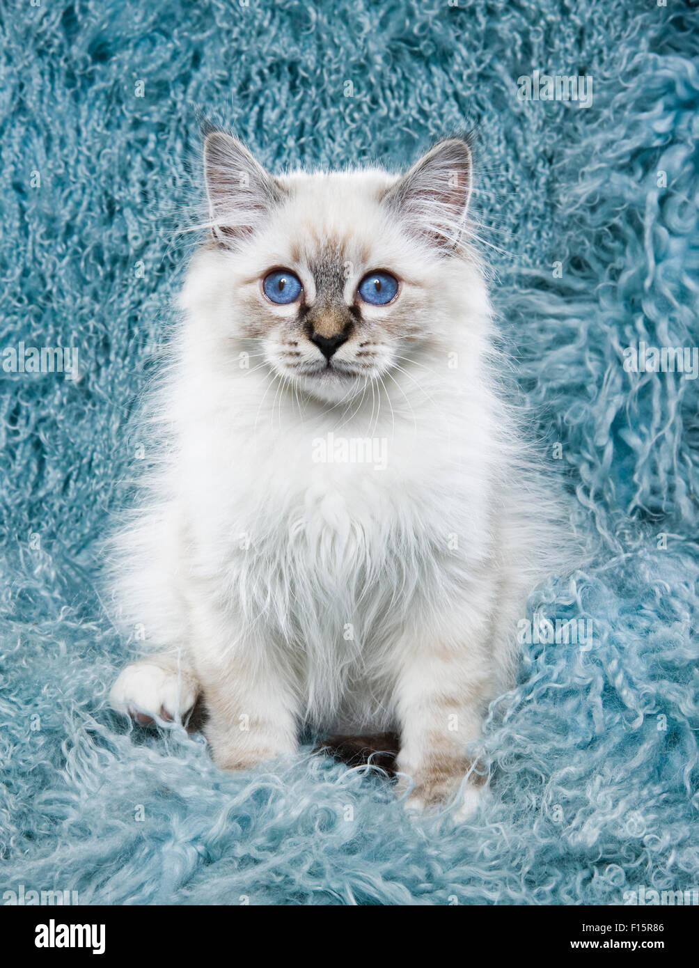 White ragdoll cat with green eyes