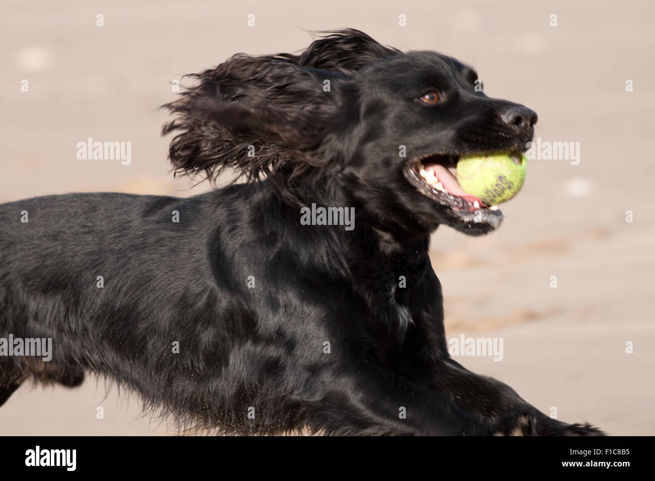 black cocker spaniel running on beach with ball in mouth