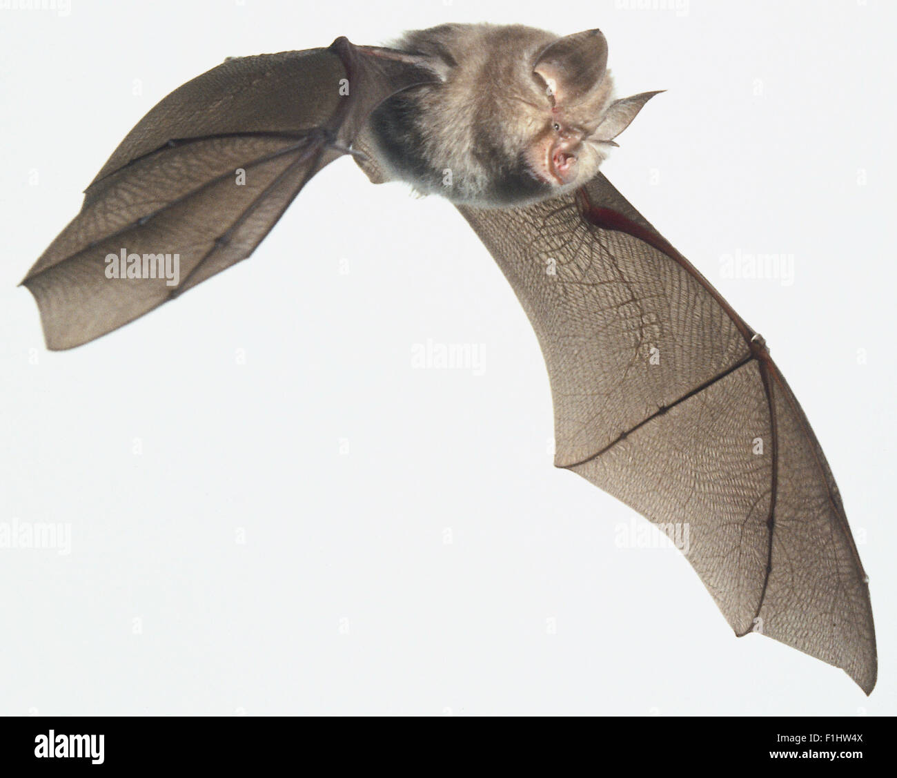 rhinolophus hipposideros lesser horseshoe bat family stock