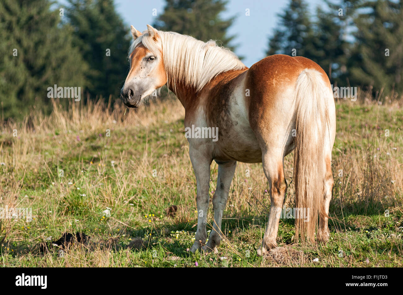 Haflinger Mare In The Mountain Stock Photo Royalty Free