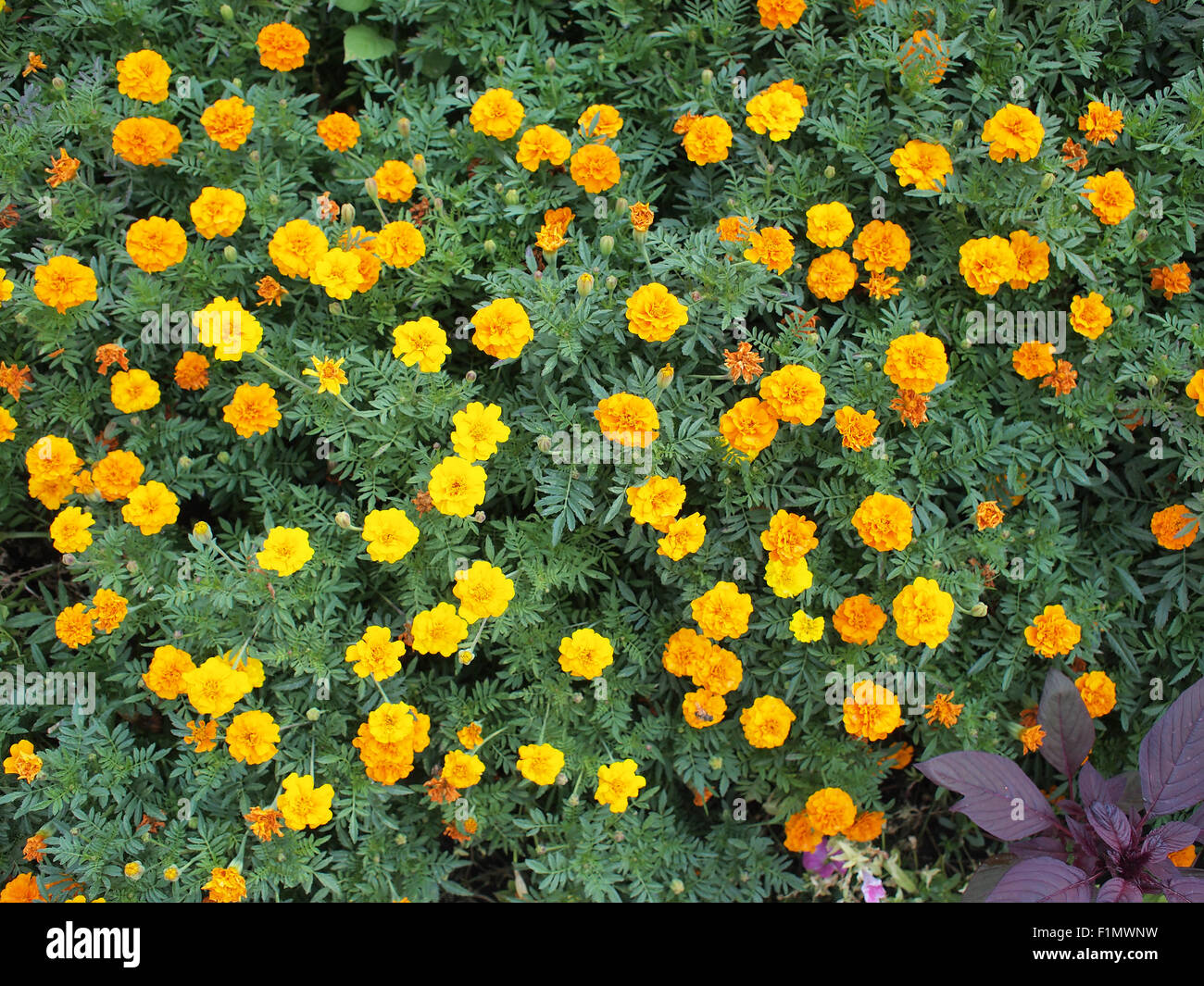 top view of a big flower bed of yellow flowers tagetes stock photo