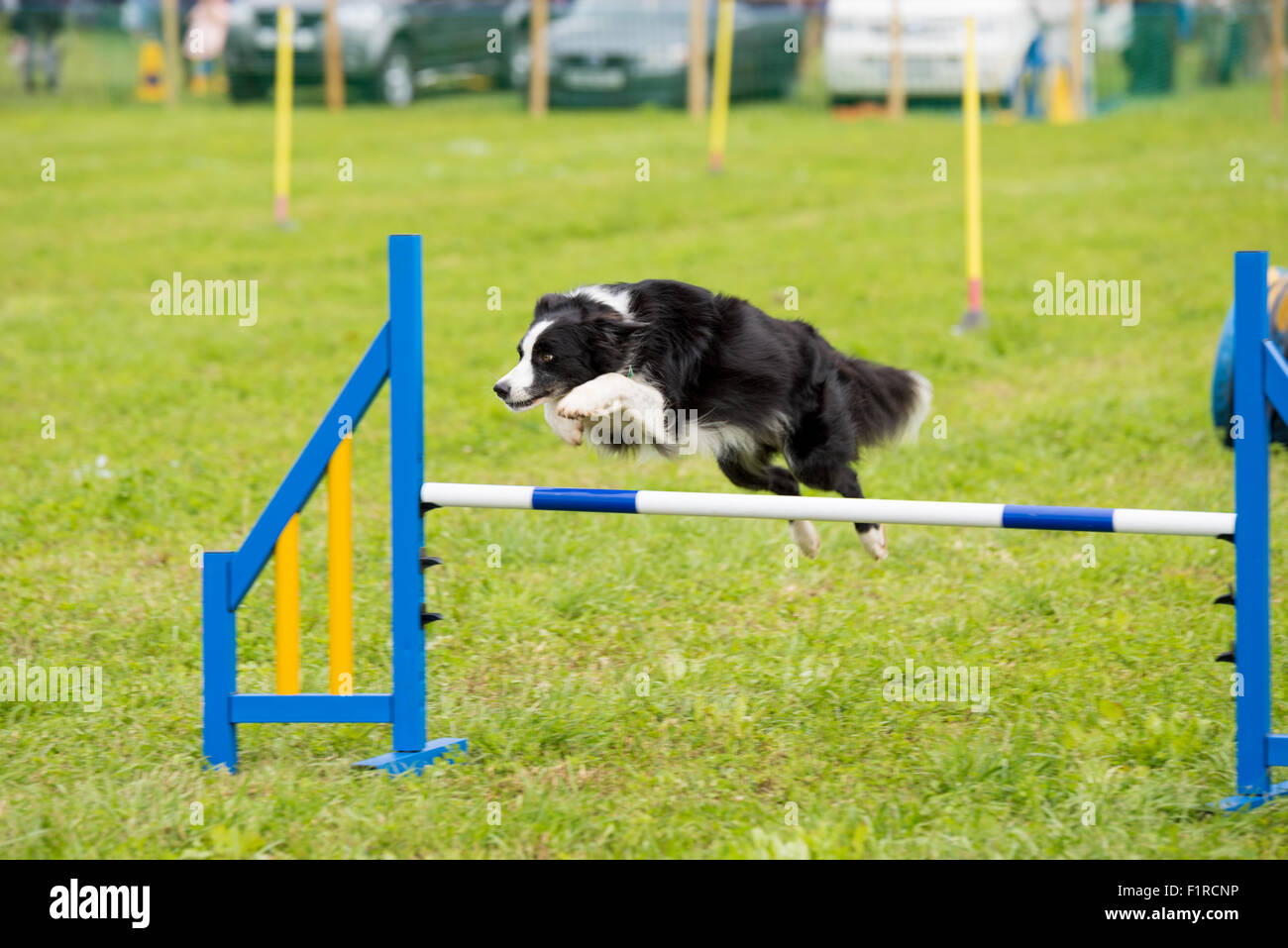Dog Agility Competition Video