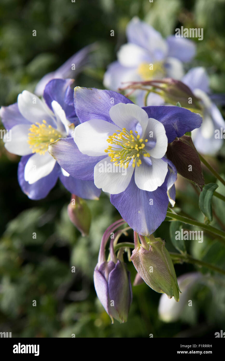 A field with rocky mountain blue columbine flowers stock photo a field with rocky mountain blue columbine flowers izmirmasajfo Images