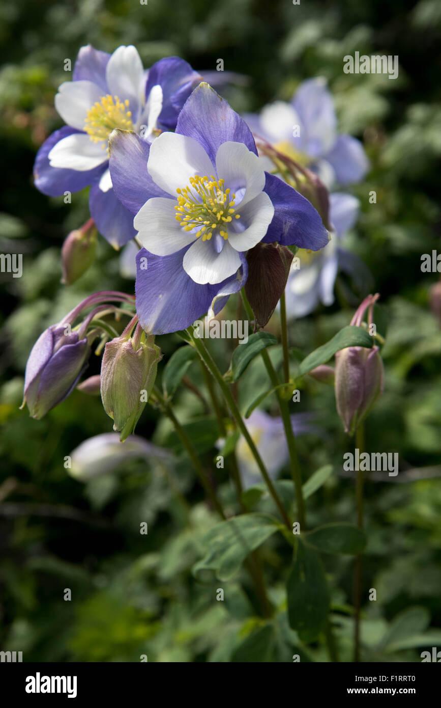 Colorado blue columbine flowers stock photos colorado blue a field with rocky mountain blue columbine flowers stock image dhlflorist Gallery
