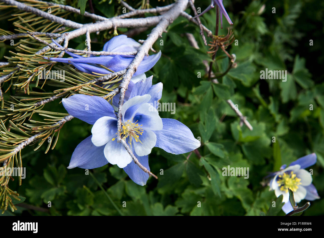 a field with rocky mountain blue columbine flowers stock photo, Beautiful flower