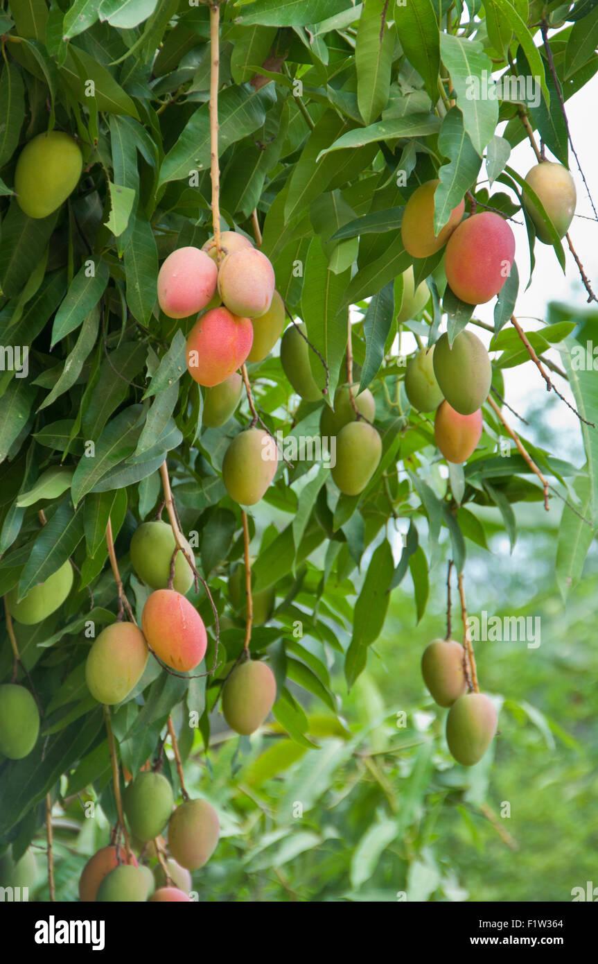 autobiography on a mango tree Benefit of mango tree in hindi june 4,  essay on autobiography of a mango tree in hindi google docs mango tree benefits in hindi whatsapp status.