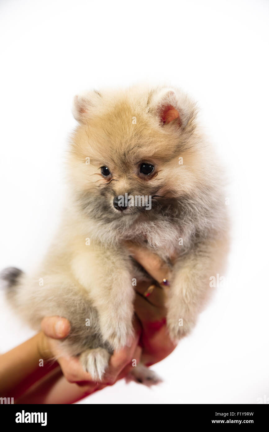 Cute pomeranian puppy in hand at studio Stock Royalty Free