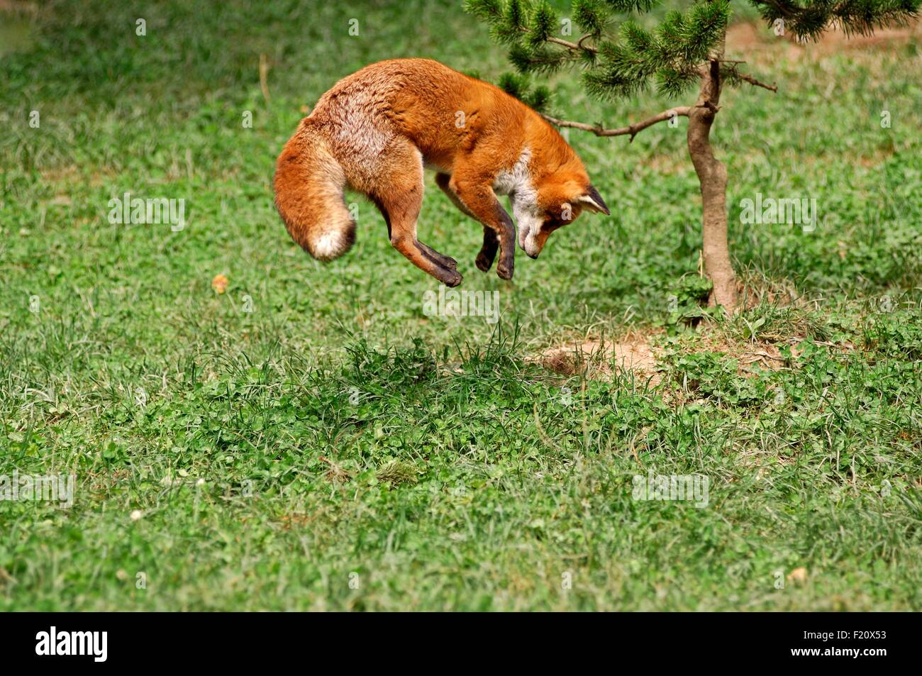 red fox vulpes vulpes pouncing on mouse stock photo royalty