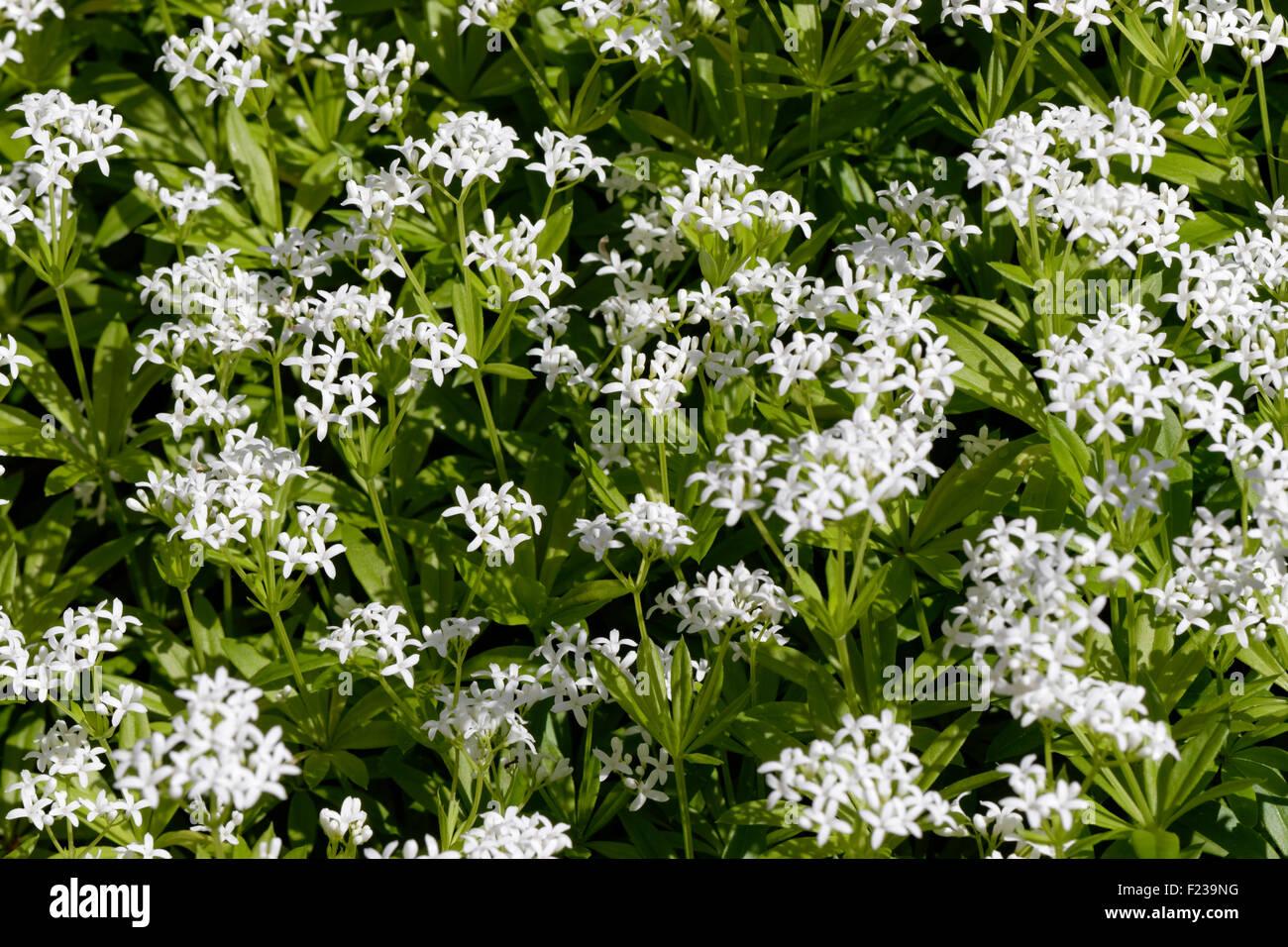 sweet woodruff galium odoratum stock photo royalty free. Black Bedroom Furniture Sets. Home Design Ideas