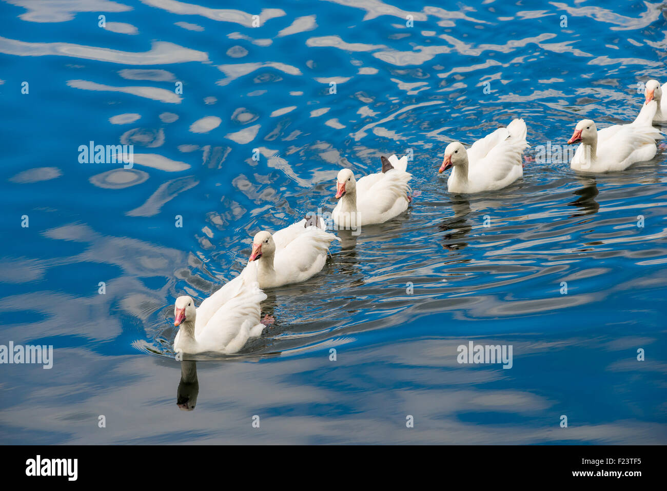 white ducks swimming in the pond together stock photo royalty