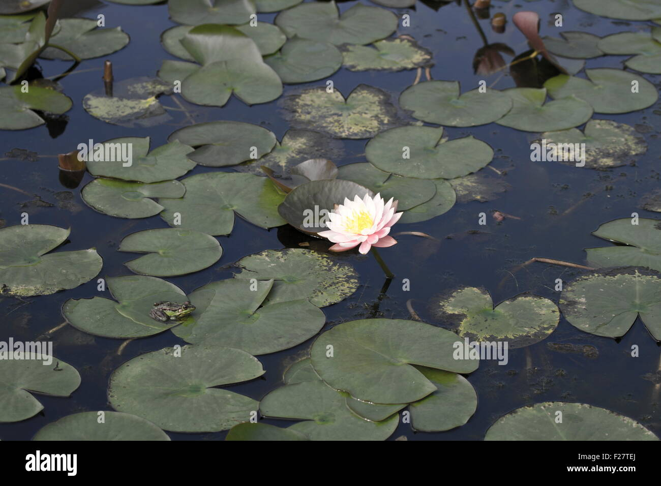 Bloom white lotus with a frog in natural habitat stock photo bloom white lotus with a frog in natural habitat mightylinksfo Image collections