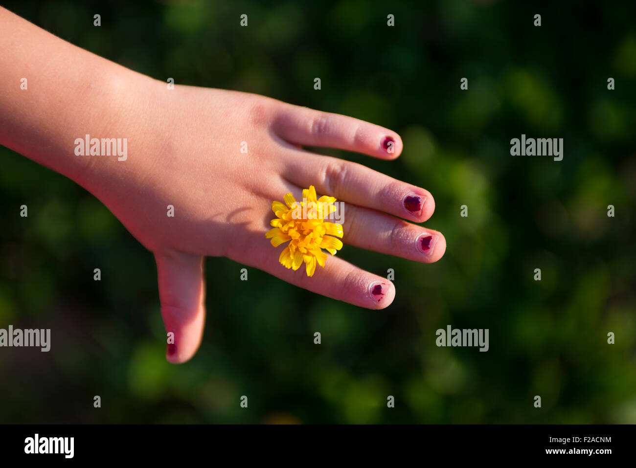 Child Girl Hand holding dandelion flower, dandelion ring Stock ...