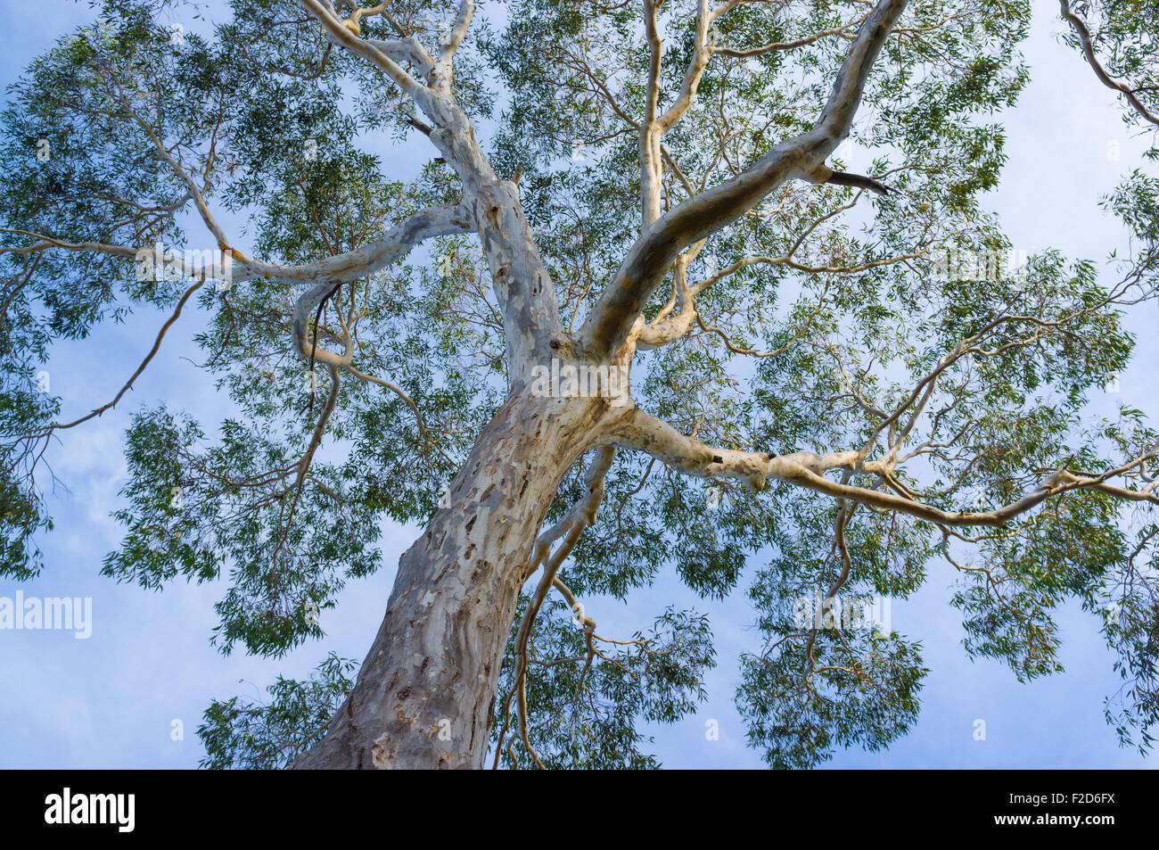 Canopy of big Australian Eucalyptus tree looking up at the sky & Canopy of big Australian Eucalyptus tree looking up at the sky ...