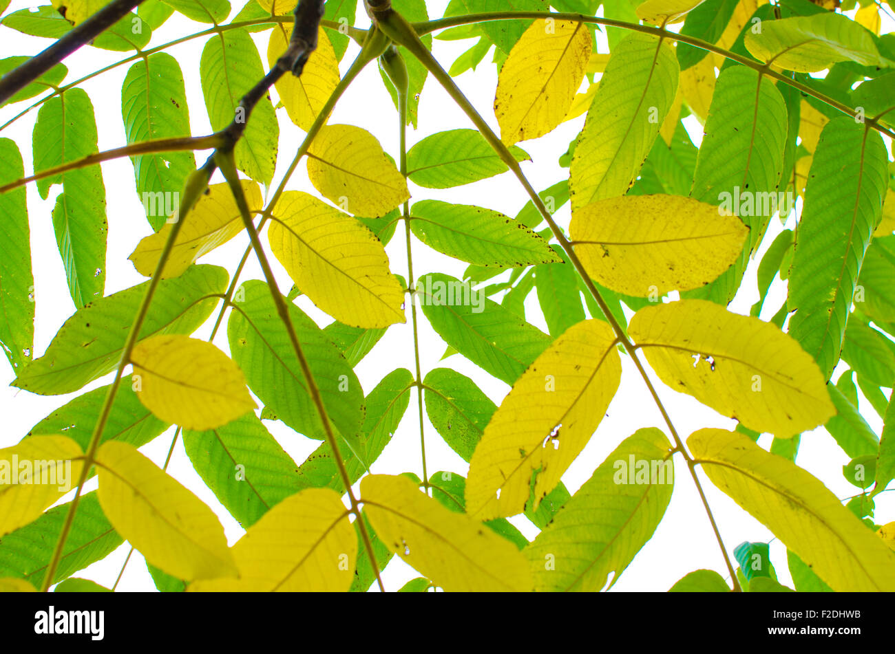 Green ash leaf in fall