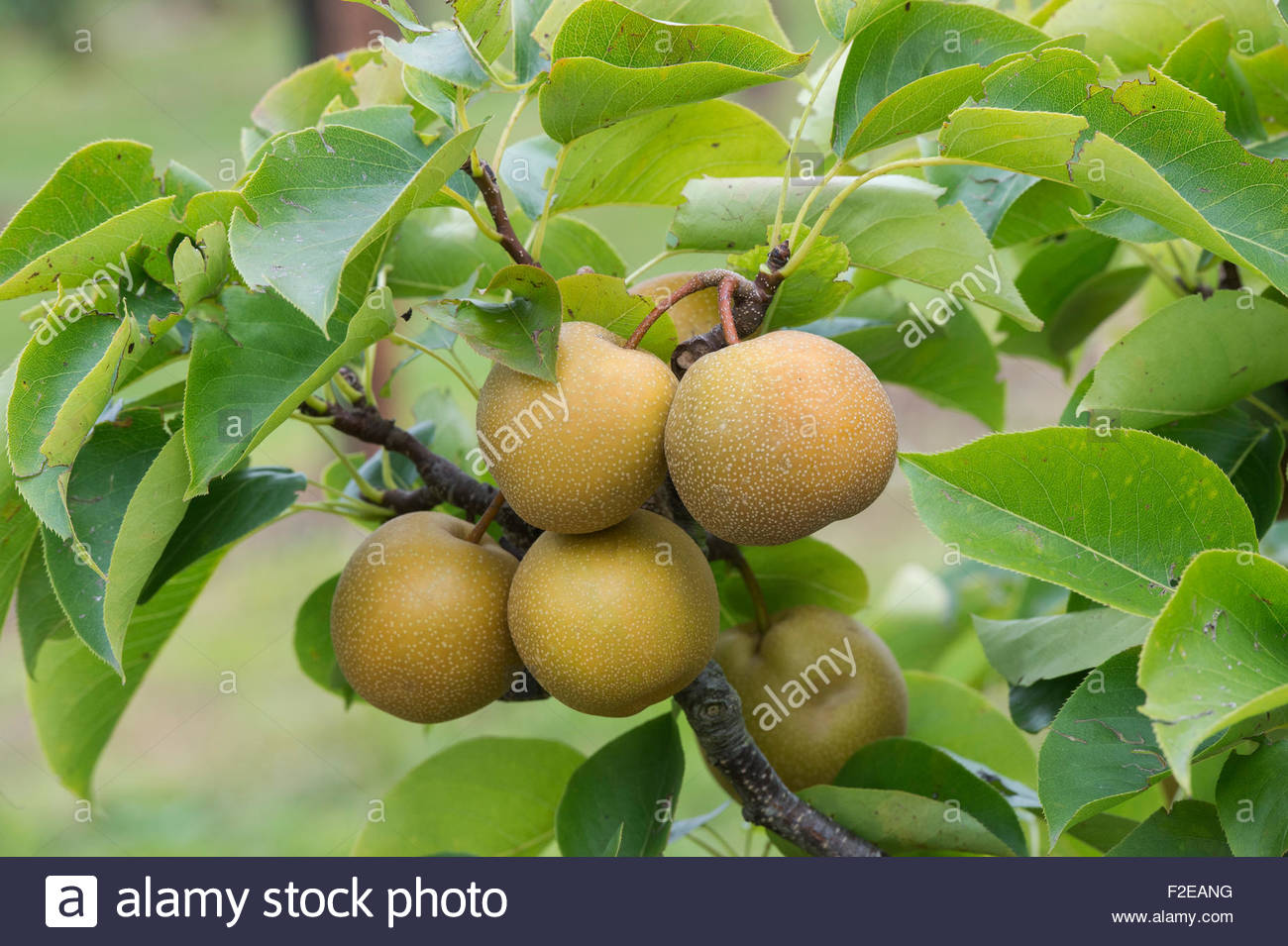 Shinko asian pear edible landscaping - Asian Pears Niitaka Stock Image