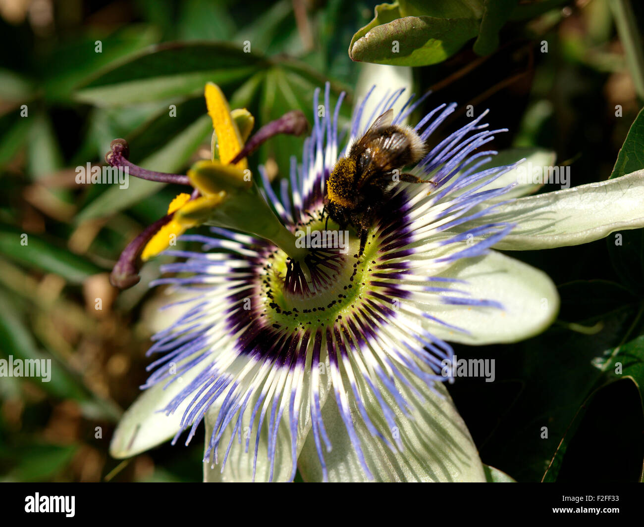 White tailed bumblebee bombus lucorum on a passion flower stock white tailed bumblebee bombus lucorum on a passion flower passiflora caerulea uk dhlflorist Images