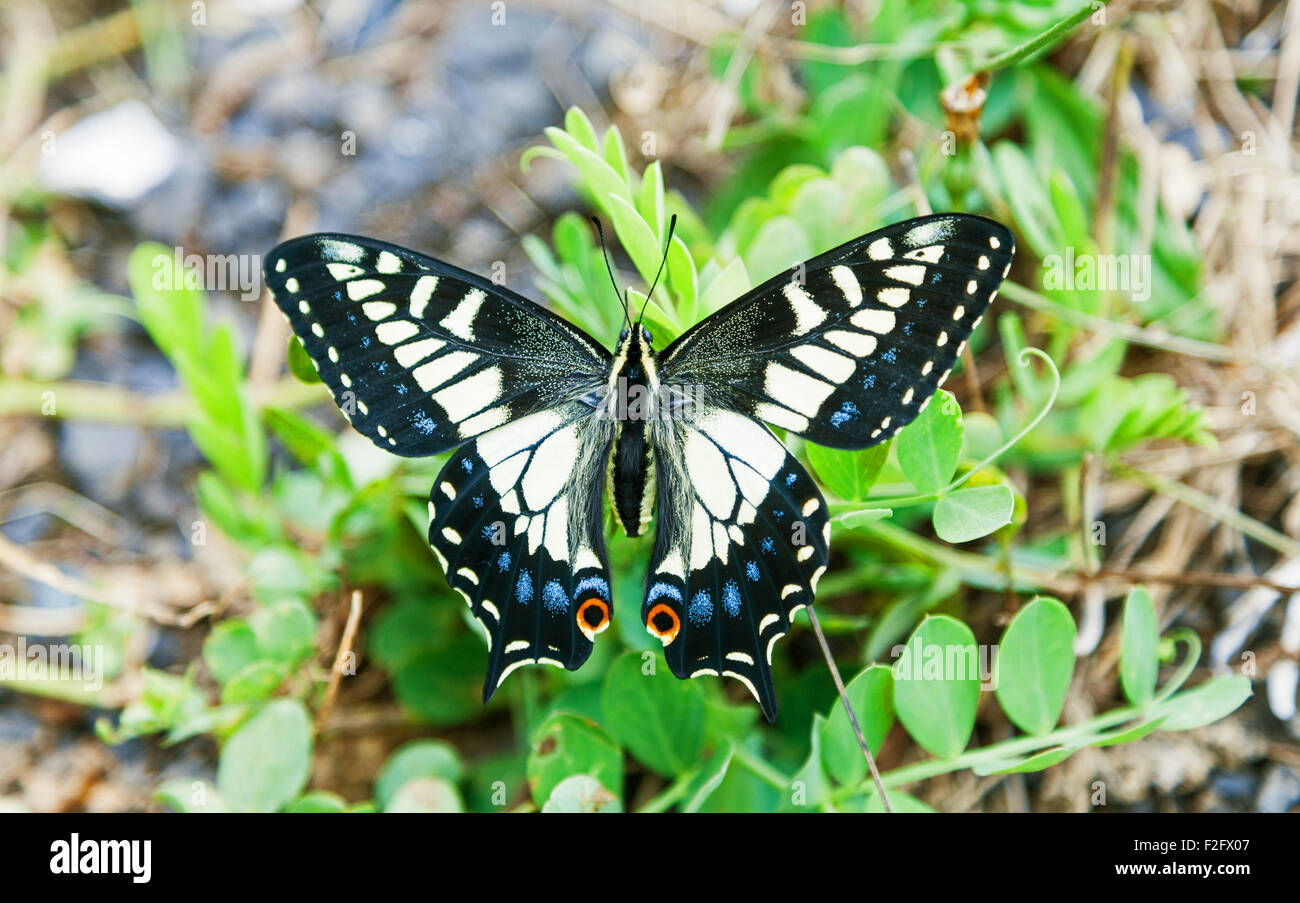 anise-swallowtail-butterfly-papilio-zeli