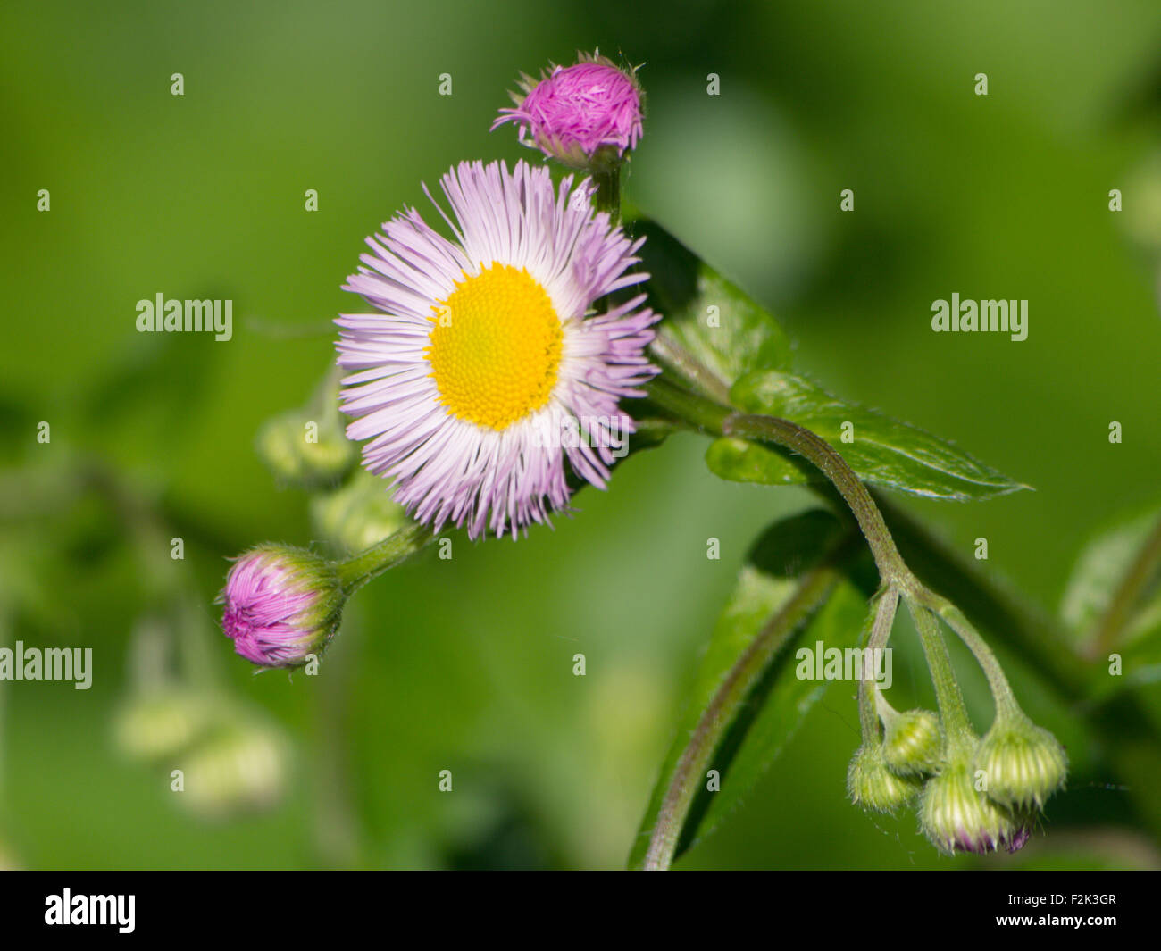 Wild pink flower with yellow center stock photo royalty free image wild pink flower with yellow center mightylinksfo Image collections