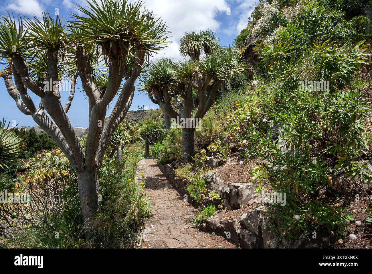 Canary dragon trees dracaena draco botanical gardens for Jardin canario tafira