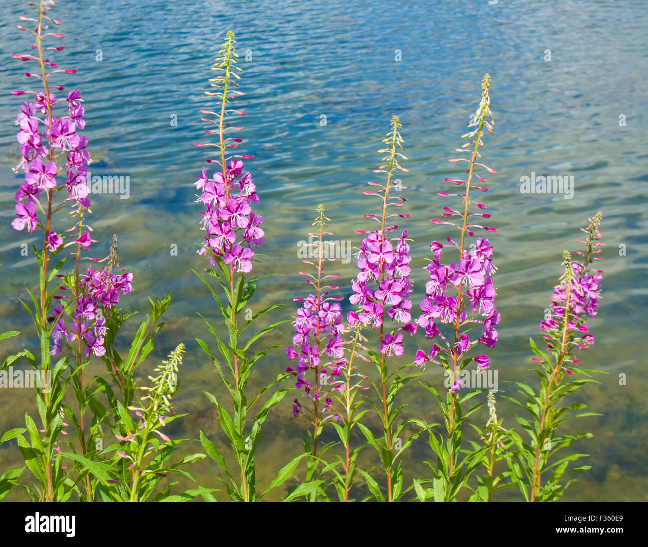 Few Wild Flowers Willow Herb Near Water Horizontal