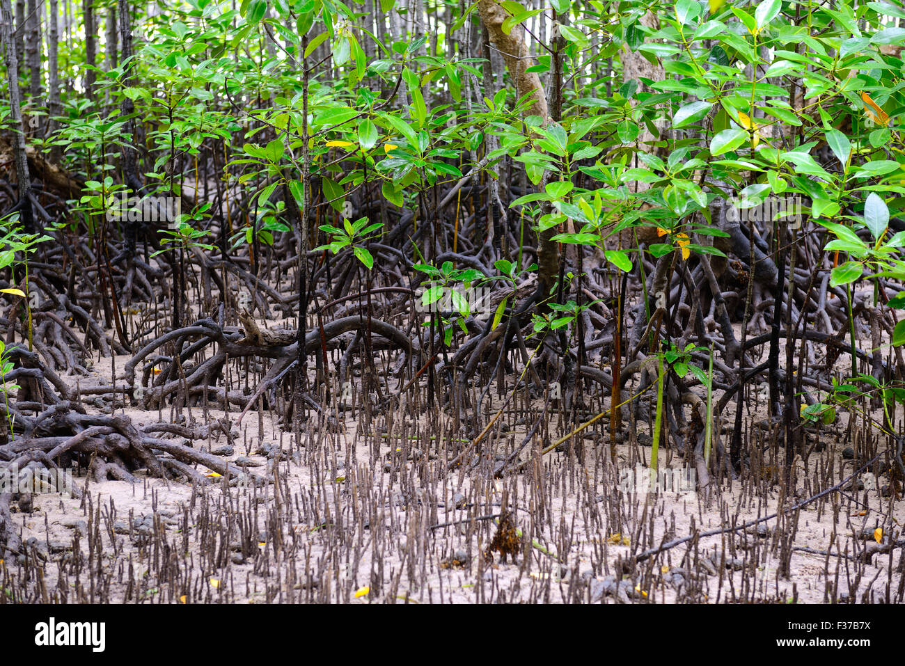 Mangroves (Avicennia marina) at low tide, Curieuse Island ...